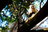 White Faced Monkey Costa Rica Photo