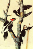 Audubon Ivory-Billed Woodpecker Bird Poster Prints