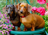 Just Dachshunds 1000 Piece Jigsaw Puzzle Jigsaw Puzzle
