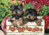 Just Yorkies 1000 Piece Jigsaw Puzzle Jigsaw Puzzle