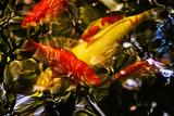 Koi Photographic Print by Steven Boone