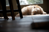 Lazy Labradoodle Photographic Print by Tim Kahane