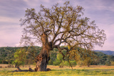 Beautiful Old Oak Tree in Morning Light Photographic Print by Vincent James