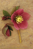Purple Flower And Two Flowerbuds of Lenten Rose Photographic Print by Den Reader