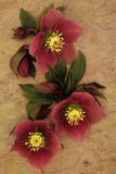 Three Purple Flowers And Four Flowerbuds of Lenten Rose Photographic Print by Den Reader