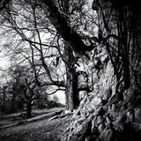 Old Royal Trees Photographic Print by Rory Garforth