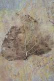 Skeleton of Leaf of Black Poplar Or Populus Nigra Tree Fotografisk trykk av Den Reader