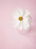 White Cosmos in Glass Vase Photographic Print by Susannah Tucker