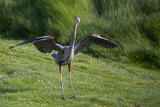 Blue Heron Upon Landing Photographic Print by Vincent James