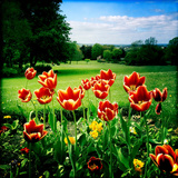 Spring Tulips Photographic Print by Craig Roberts