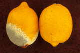 Two Lemons Photographic Print by Den Reader