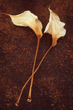 Calla Lily Photographic Print by Den Reader