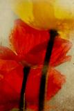 Glowing Poppies I Photographic Print by Mia Friedrich