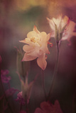 Columbine Dreaming Photographic Print by Mia Friedrich
