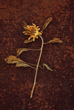 Helianthus Photographic Print by Den Reader