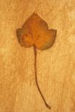 Close Up of Brown Autumn Or Winter Leaf of Ivy Or Hedera Helix Lying On Rough Beige Surface Fotografisk trykk av Den Reader