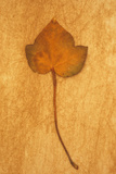 Close Up of Brown Autumn Or Winter Leaf of Ivy Or Hedera Helix Lying On Rough Beige Surface Photographic Print by Den Reader