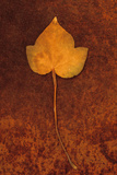 Close Up of Brown Autumn Or Winter Leaf of Ivy Or Hedera Helix Lying On Rusty Metal Sheet Photographic Print by Den Reader