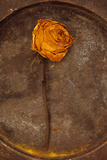 Squashed Dried Rose Once Yellow And Now Brown Lying with Its Stem On Tarnished Metal Plate Photographic Print by Den Reader