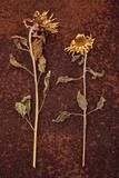 Sunflower Photographic Print by Den Reader