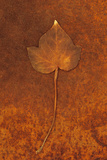 Close Up of Brown Autumn Or Winter Leaf of Ivy Or Hedera Helix Lying On Rusty Metal Sheet Reproduction photographique par Den Reader