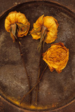 Three Squashed Dried Roses Once Yellow Photographic Print by Den Reader