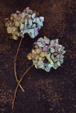Two Dried Hydrangea Photographic Print by Den Reader