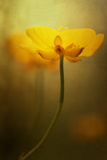 Buttercup Dreaming Photographic Print by Mia Friedrich