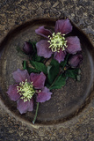 Two Dying Flowers of Lenten Rose Or Helleborus Orientalis Photographic Print by Den Reader