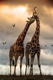 Giraffes Kissing Poster