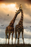 Giraffes Kissing Póster
