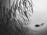 Diver And Schooling Blackfin Barracuda, Papua New Guinea Photographic Print by Stocktrek Images