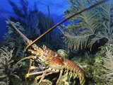 Spiny Lobster, Cayman Brac, Cayman Islands Photographic Print by Stocktrek Images