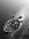 Hawksbill Turtle Ascending Against a Colony of Bubbles Photographic Print by Stocktrek Images