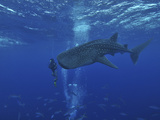 Whale Shark And Diver, Maldives Photographic Print by Stocktrek Images