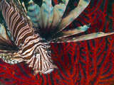 An Invasive Indo-Pacific Lionfish Off the Coast of North Carolina Photographic Print by Stocktrek Images