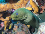 Green Moray Eel On Caribbean Reef Photographic Print by Stocktrek Images