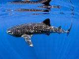 Whale Shark Off Coast of Isla Mujeres, Mexico Photographic Print by Stocktrek Images
