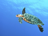 Hawksbill Turtle Swimming in Midwater in Caribbean Sea, Mexico Photographic Print by Stocktrek Images