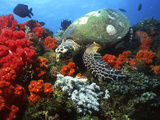 Hawksbill Sea Turtle Swimming Over Coral Reef, Malaysia Photographic Print by Stocktrek Images