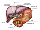 Anatomy of Liver, Antero-visceral View Photographic Print by Stocktrek Images