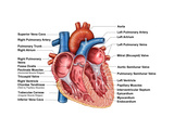 Anatomy of Heart Interior, Frontal Section Photographic Print by Stocktrek Images
