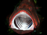Red Grouper with Open Mouth And Cleaner Wrasse, Bali, Indonesia Photographic Print by Stocktrek Images