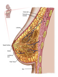 Anatomy of the Female Breast Photographic Print by Stocktrek Images