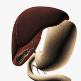 Medical Illustration of the Liver And Stomach Photographic Print by Stocktrek Images