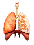 Anatomy of Human Respiratory System, Front View Photographic Print by Stocktrek Images