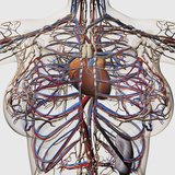 Medical Illustration of Female Breast Arteries, Veins And Lymphatic System Photographic Print by Stocktrek Images