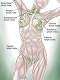 Anatomy of Superficial (Surface) Lymphatics Photographic Print by Stocktrek Images