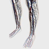 Medical Illustration of Arteries, Veins And Lymphatic System in Human Legs Photographic Print by Stocktrek Images