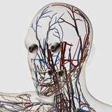 Medical Illustration of Head Arteries, Veins And Lymphatic System Photographic Print by Stocktrek Images